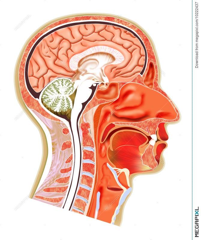 Human Head Structure Illustration 10222437 - Megapixl