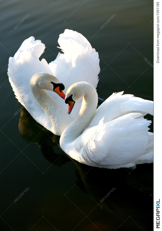 love swans images