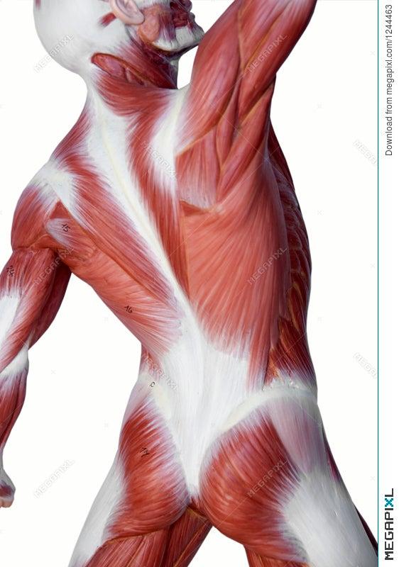 Muscle Man Anatomy Stock Photo 1244463 Megapixl