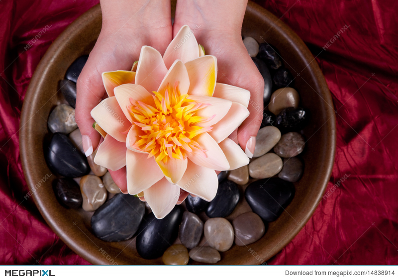 Hands Holding Lotus Flower Stock Photo 14838914 Megapixl