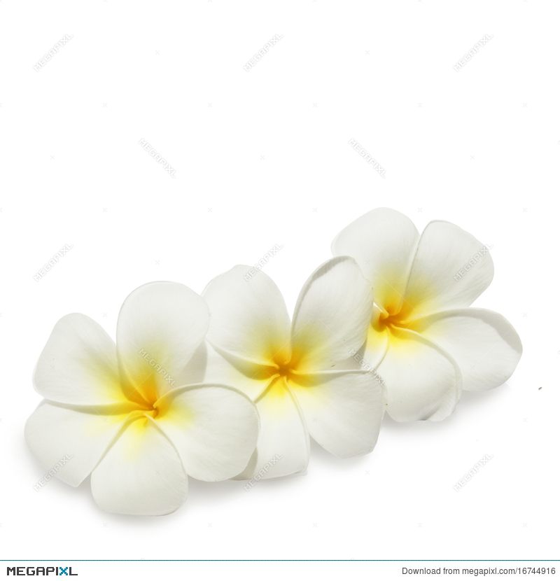 Tropical flowers frangipani on white stock photo 16744916 megapixl tropical flowers frangipani on white mightylinksfo