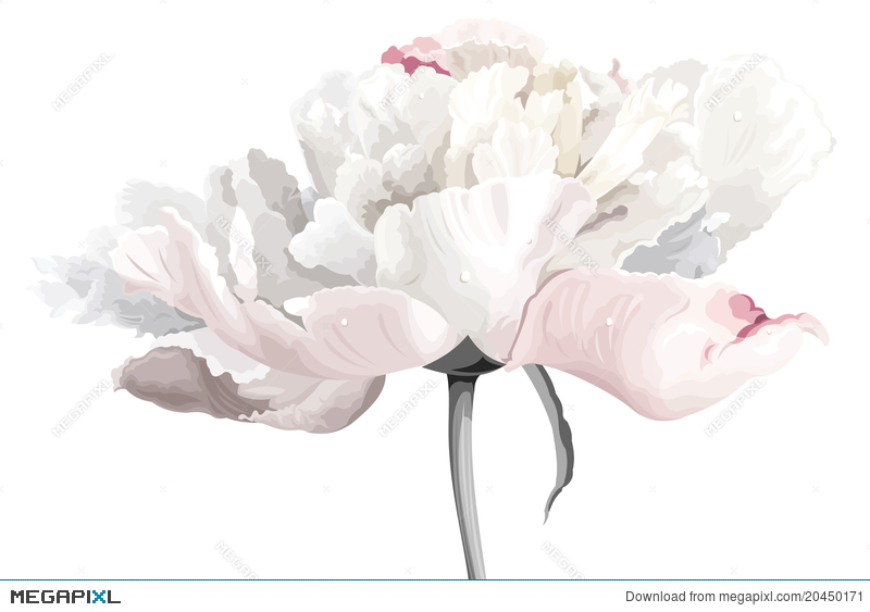 White peony flower illustration 20450171 megapixl white peony flower mightylinksfo