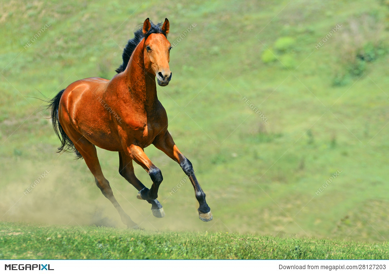 Bay Horse Running In The Field Stock Photo 28127203 Megapixl