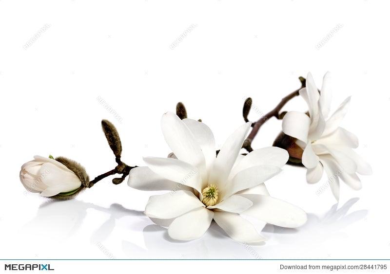 White magnolia flowers stock photo 28441795 megapixl white magnolia flowers mightylinksfo