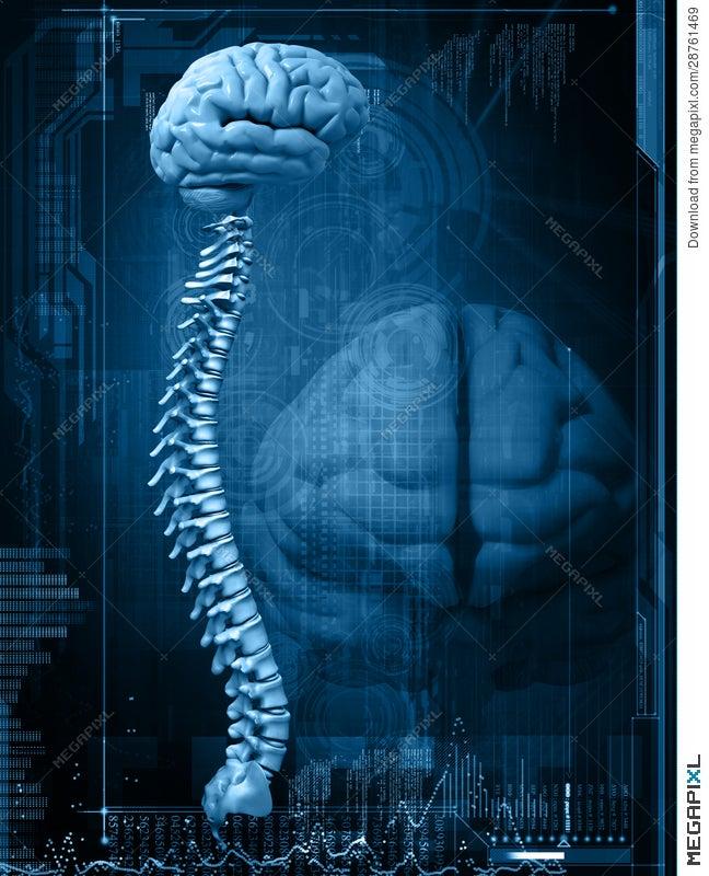 Brain And Spine Illustration 28761469 - Megapixl