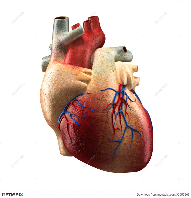 Real Heart Isolated On White Human Anatomy Model Illustration