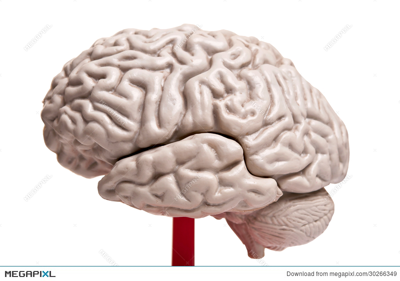 Closeup To Human Brain Anatomy Stock Photo 30266349 Megapixl