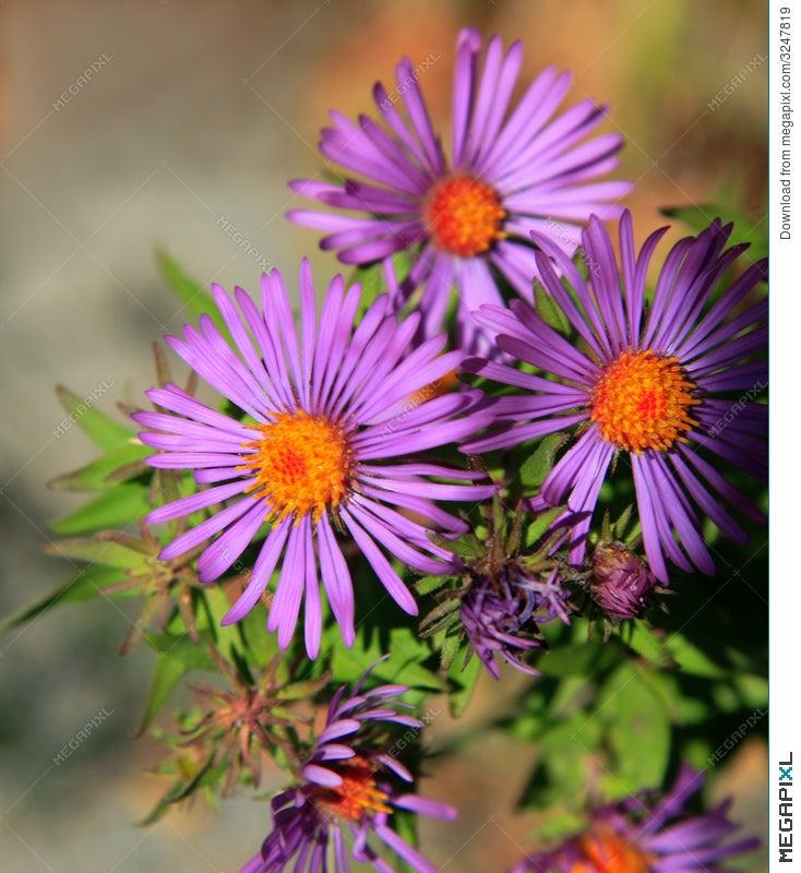 Purple And Orange Flowers Stock Photo