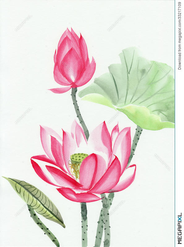 Watercolor Painting Of Pink Lotus Flower Illustration 33217109