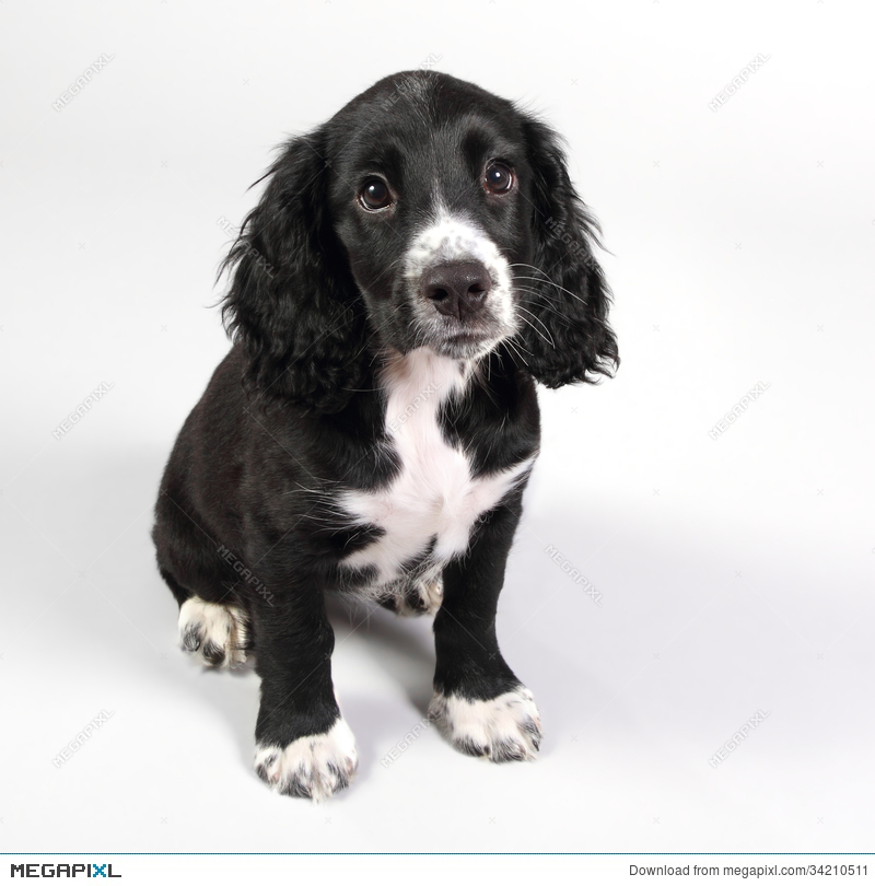 Cute Sprocker Spaniel Puppy Looking