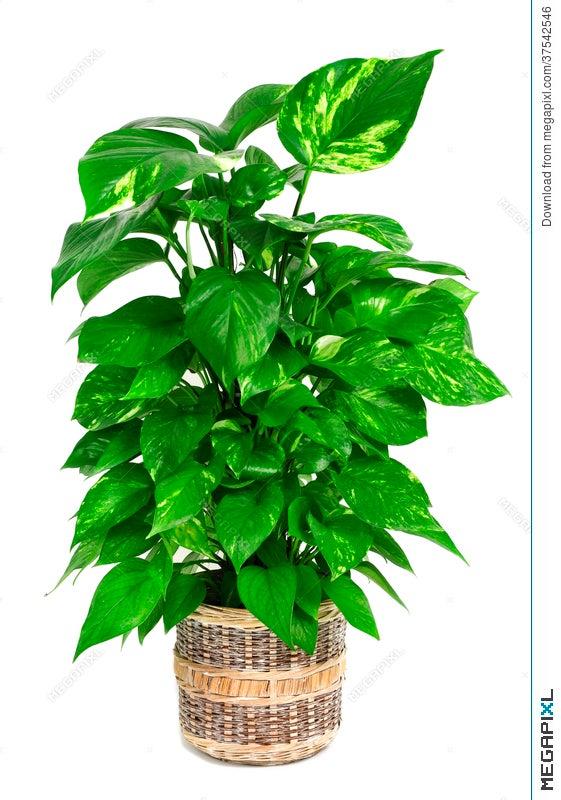 Epipremnum Aureum Plant