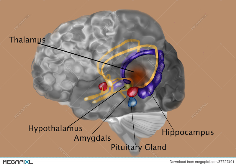 Human Brain With Labels Illustration 37727491 - Megapixl