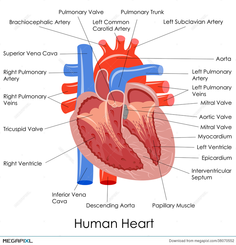 Human Heart Anatomy Illustration 38070552 Megapixl