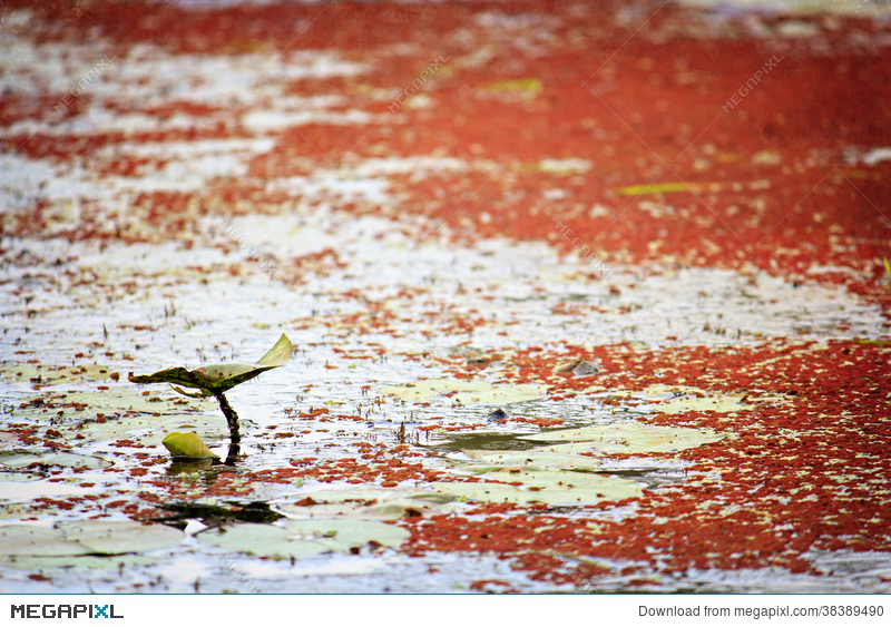 Single Lily Pad On A Pond With Red Algae