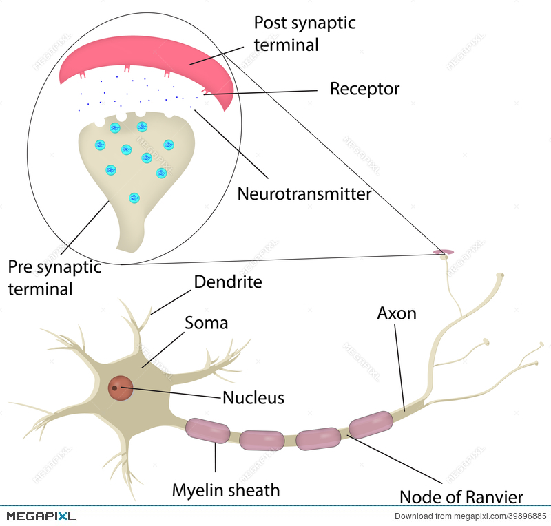 Neuron And Synapse Labeled Diagram Illustration 39896885 Megapixl