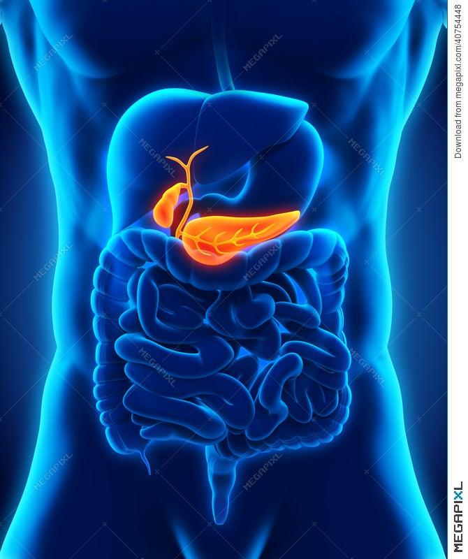 Human Gallbladder And Pancreas Anatomy Illustration 40754448 - Megapixl