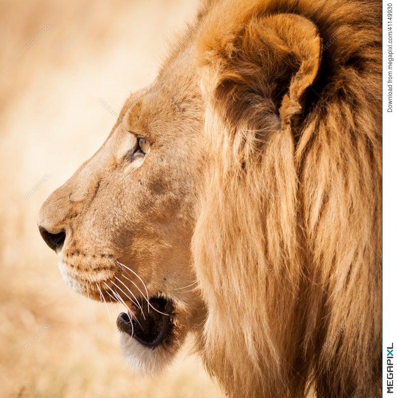 Lion Head Side Profile In Zambia Africa Stock Photo 41149930 ...