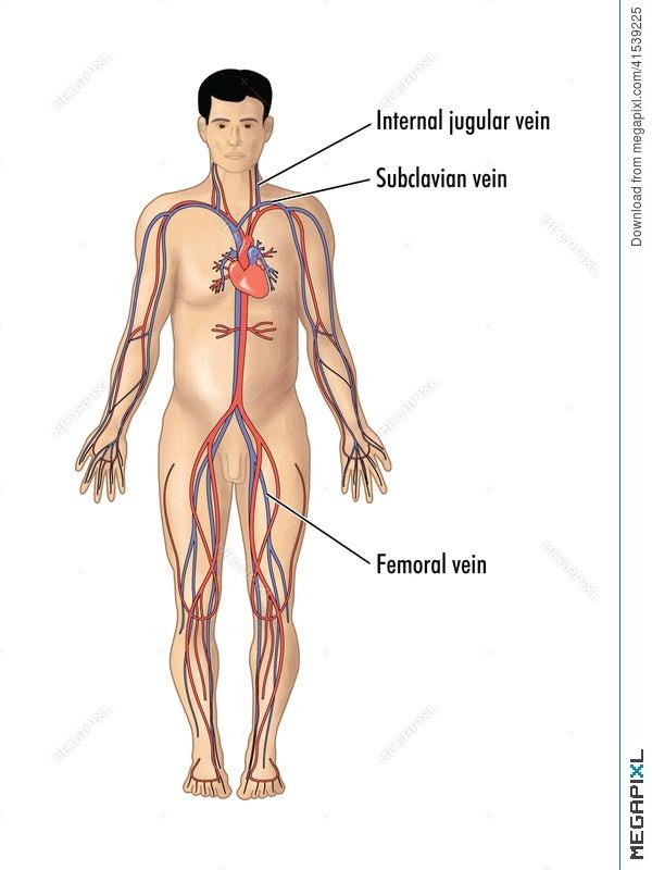 Major Blood Vessels For Central Line Insertion Illustration 41539225 ...