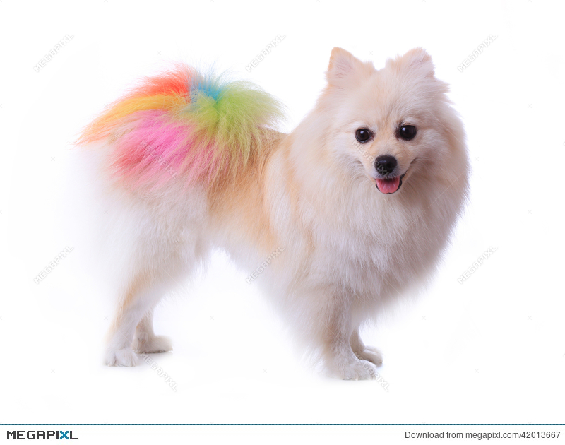 White Pomeranian Dog Grooming Colorful Tail Stock Photo 42013667