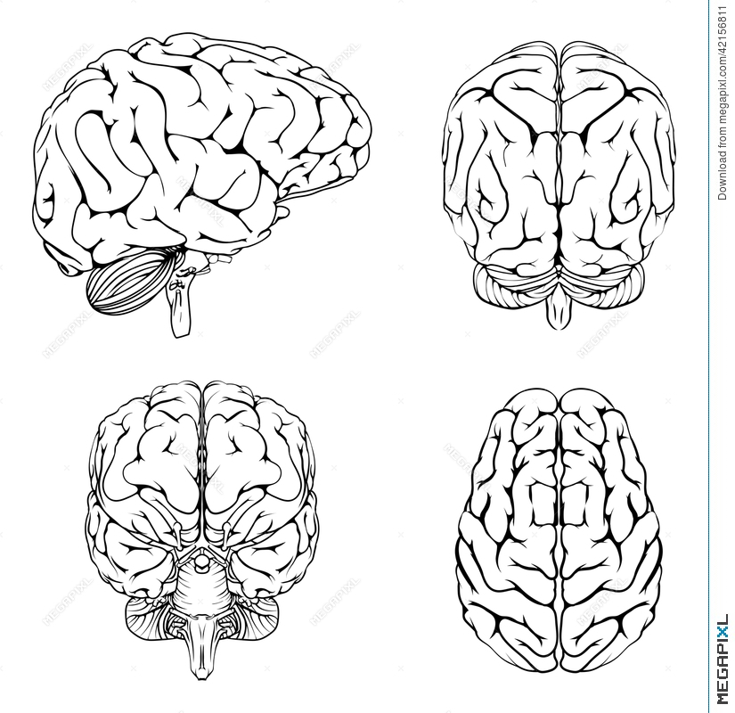 Brain from top side front and back illustration 42156811 megapixl brain from top side front and back ccuart Choice Image
