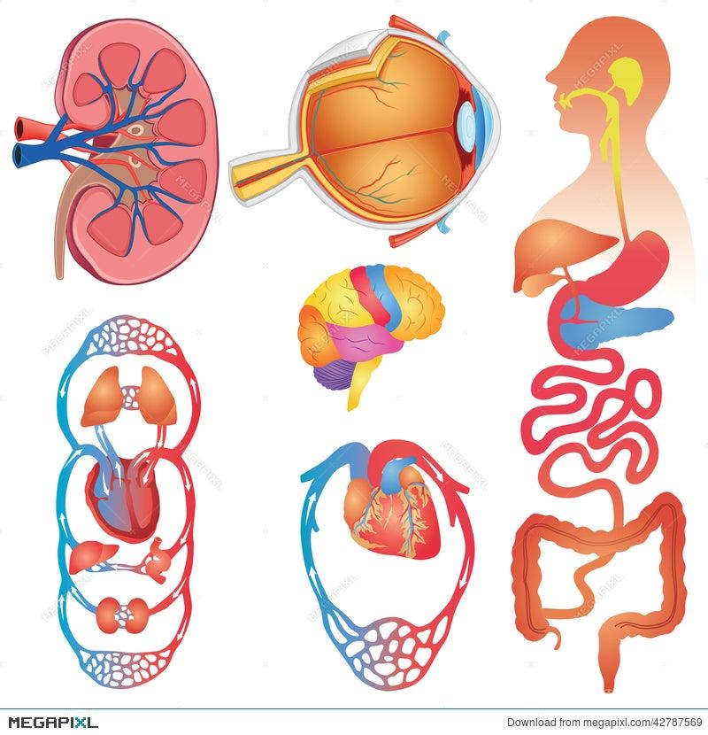 Human body parts vector set illustration 42787569 megapixl human body parts vector set ccuart Image collections