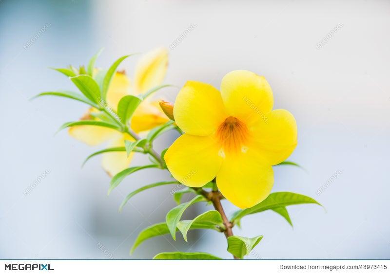 Flowergolden Trumpet Vine Yellow Bell Allamanda Cathartica Stock