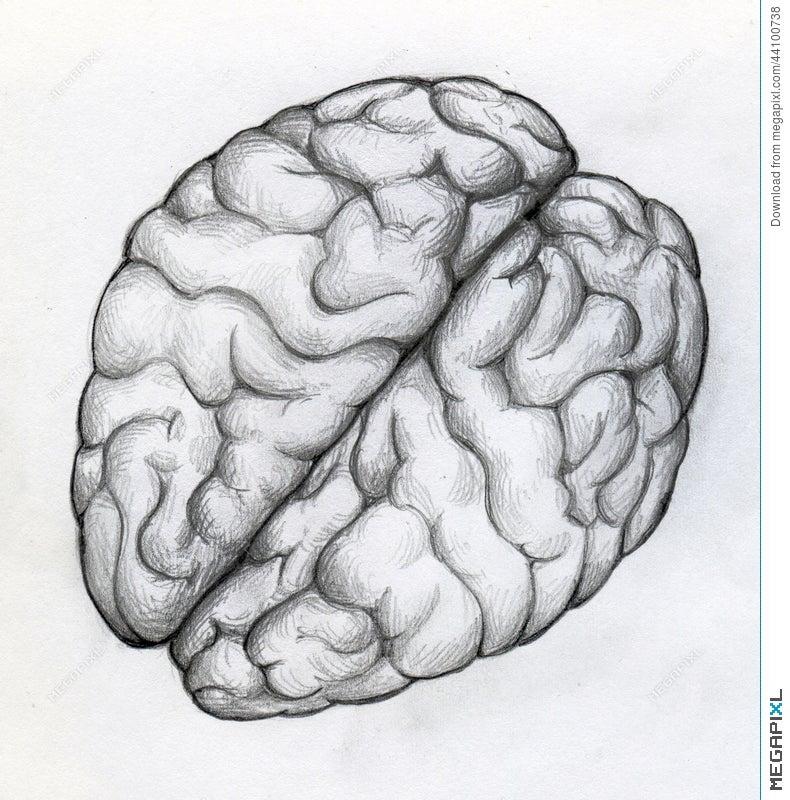 Hand Drawn Sketch Of Human Brain Illustration 44100738 Megapixl