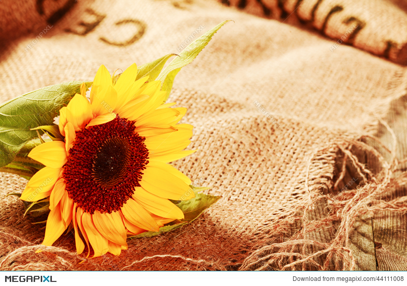 Beautiful Sunflower In A Rustic Background