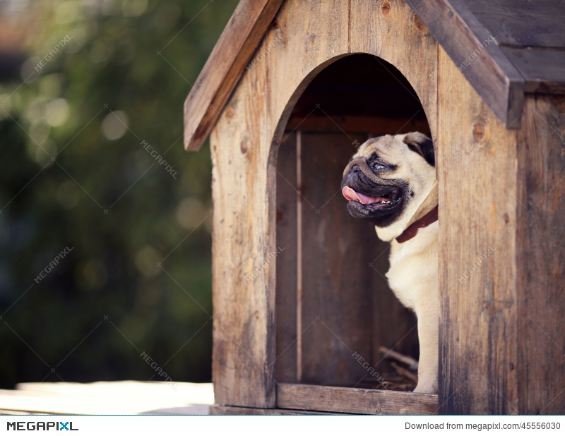 Funny Pug Dog In The House Stock Photo 45556030