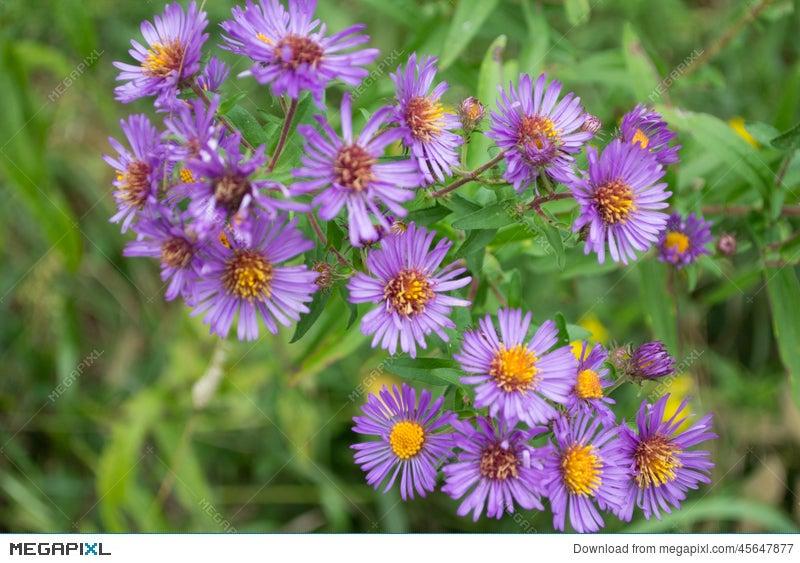 Purple perennials new england aster flowers stock photo 45647877 purple perennials new england aster flowers mightylinksfo