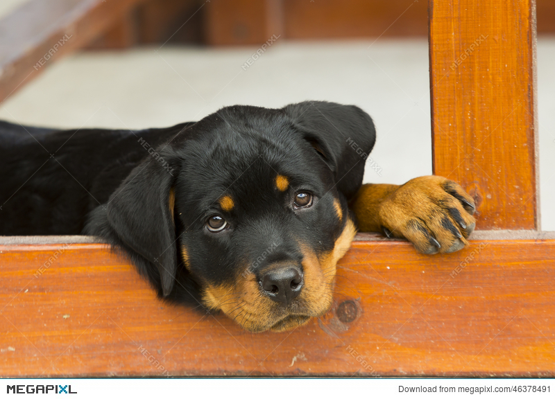 Baby Rottweiler Puppy Stock Photo 46378491 Megapixl