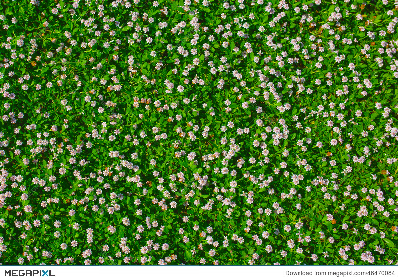 Top view of green grass with small white flowers stock photo top view of green grass with small white flowers mightylinksfo