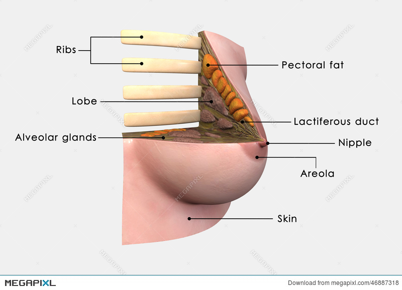Breast Anatomy Labelled Illustration 46887318 - Megapixl