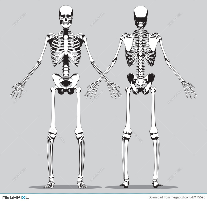 Front And Back View Of A Human Skeleton Illustration 47475598 Megapixl