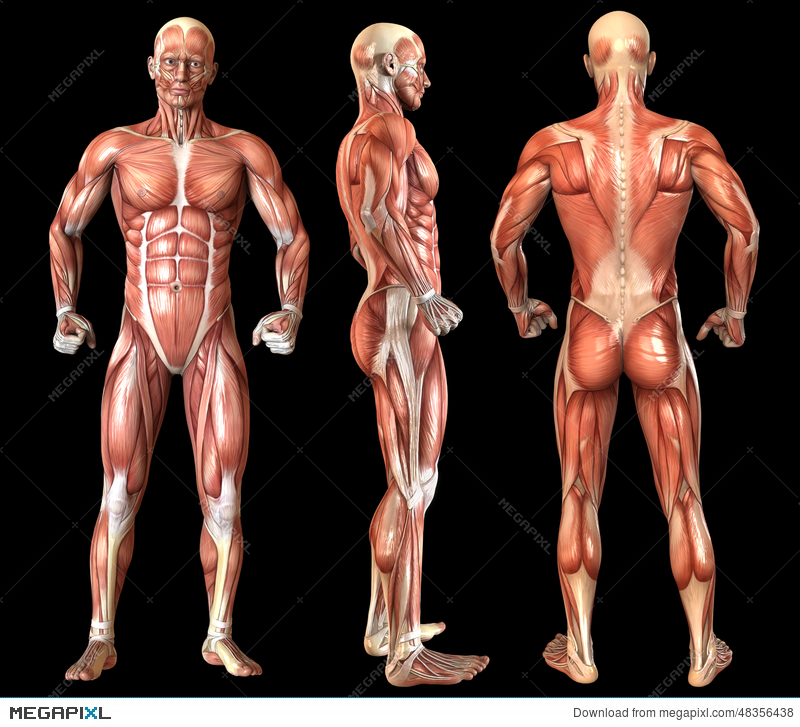 human anatomy full body muscles illustration 48356438 - megapixl, Muscles