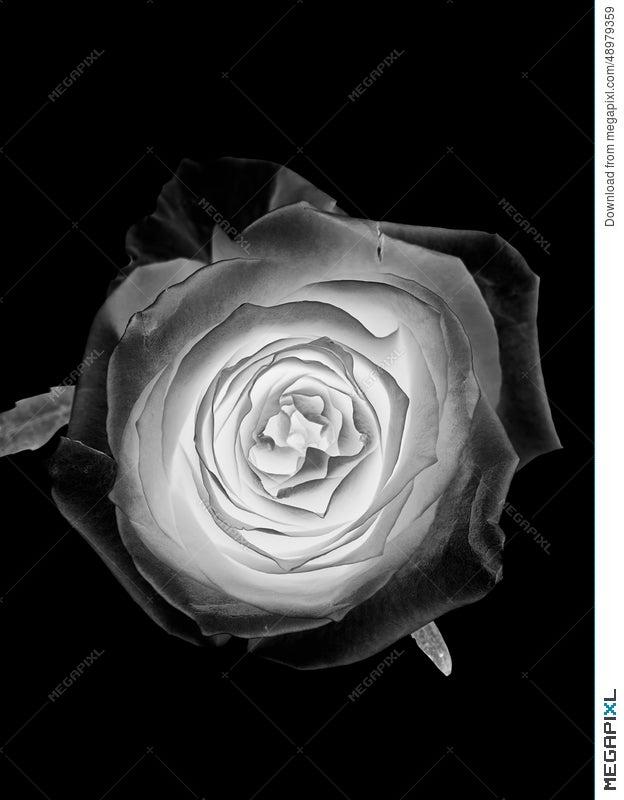 White Silver Rose Flower On Black Background