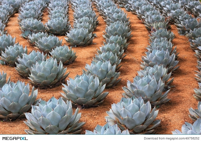 Rows Of Artichoke Agave Plants Stock Photo 49758252 , Megapixl