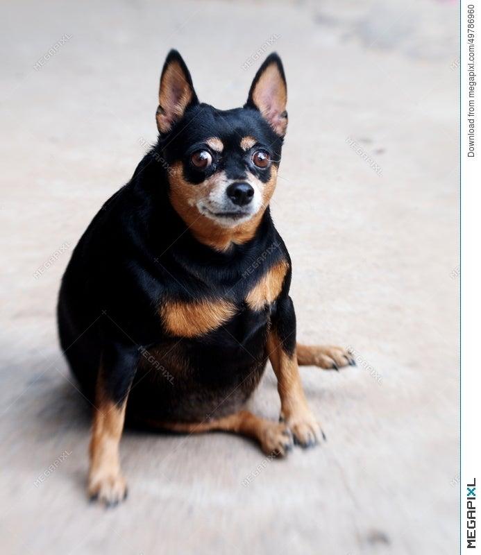Black Miniature Pinscher Dog Stock Photo 49786960 Megapixl