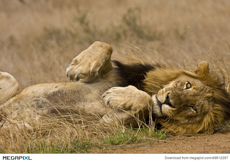 Portrait of wild male lion lying down in the bush, Kruger, South Africa