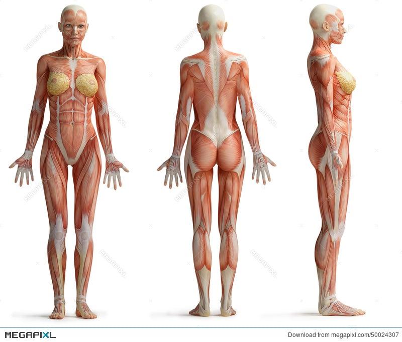 Female Anatomy Illustration 50024307 - Megapixl