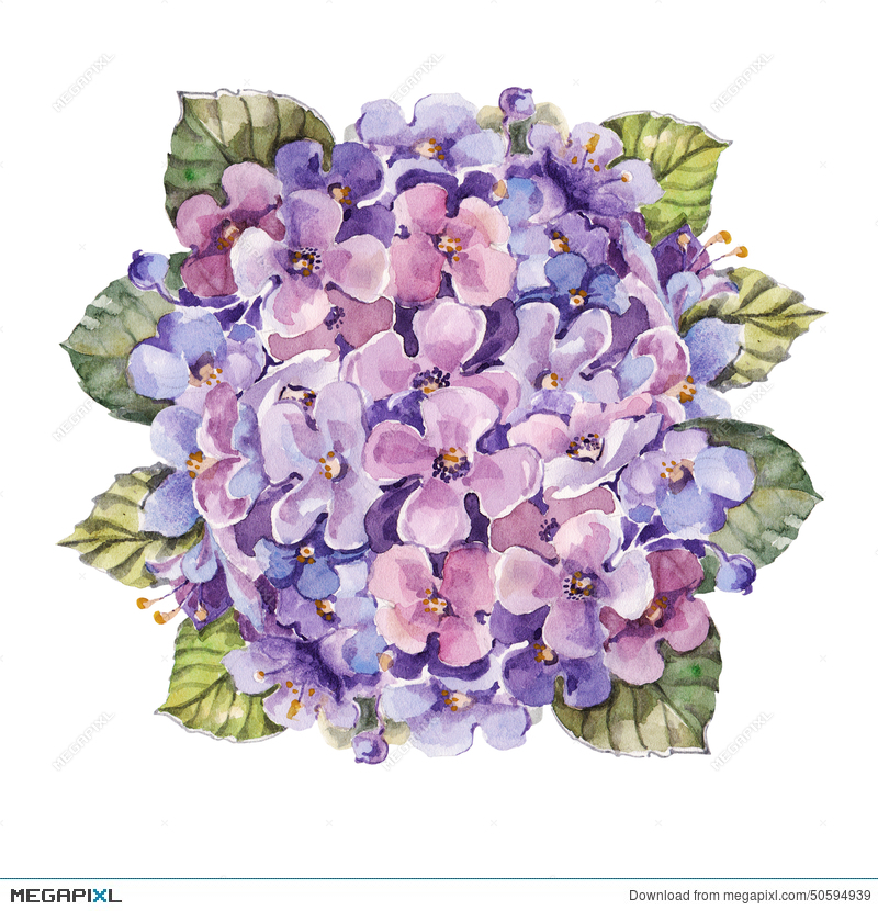 Bouquet Hydrangea Flower , Watercolor Illustration 50594939 - Megapixl