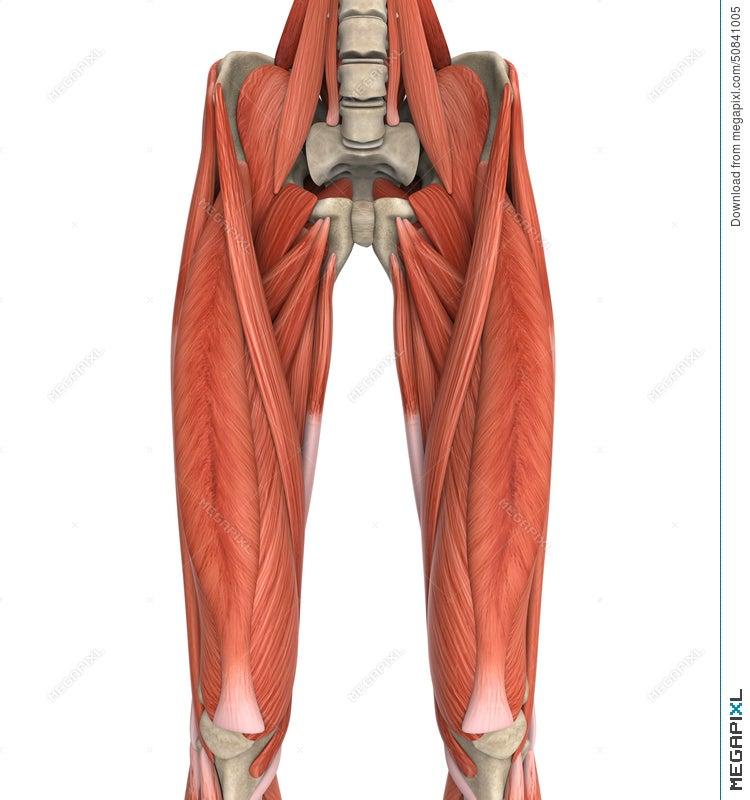 Upper Legs Muscles Anatomy Illustration 50841005 - Megapixl
