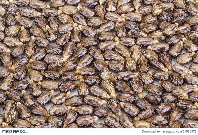 Castor Oil Seeds Ricinus Communis Stock Photo 51520979 Megapixl