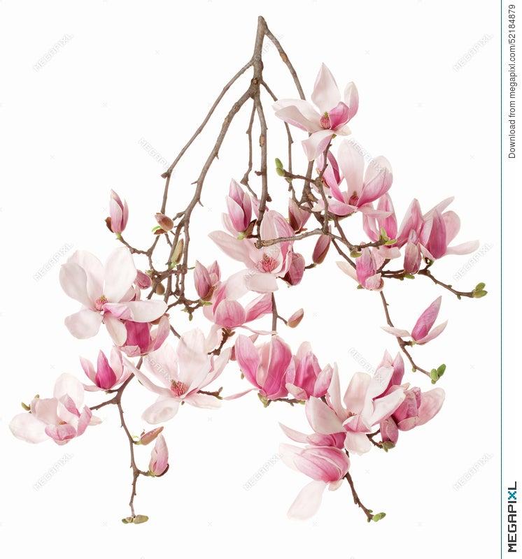 Magnolia Pink Flower Branch Stock Photo 52184879 Megapixl