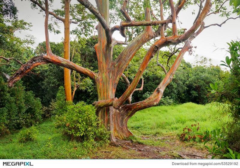 rainbow eucalyptus trees maui hawaii usa stock photo 53529192