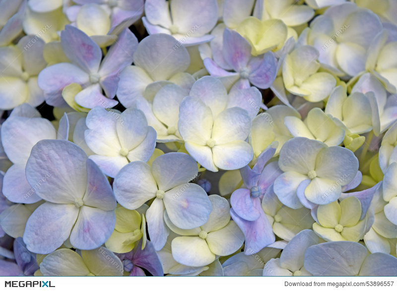 Close up beautiful floral background purple yellow hydrangea flowers close up beautiful floral background purple yellow hydrangea flowers mightylinksfo