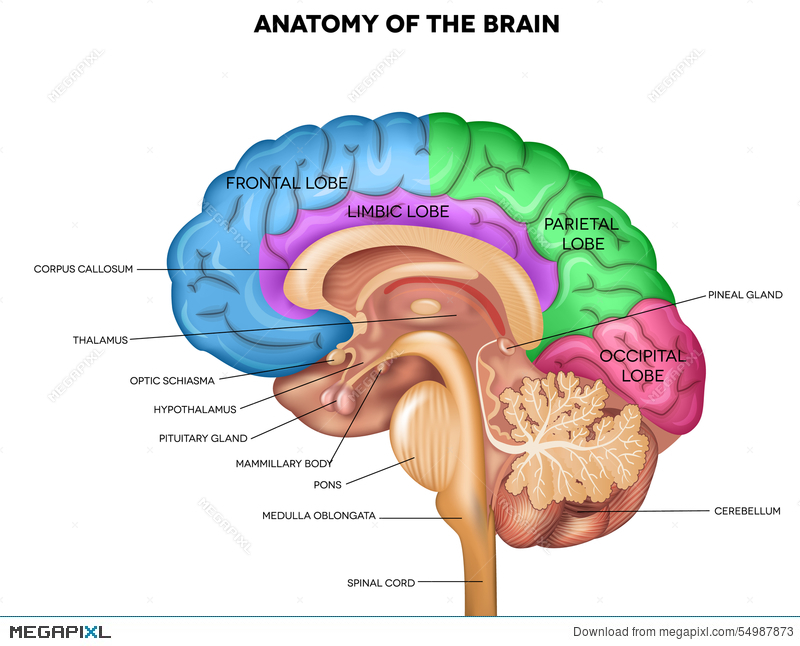Human Brain Anatomy Illustration 54987873 Megapixl