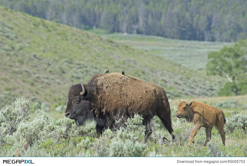 Baby Bison Trailing Behind Mom In Yellowstone National Park