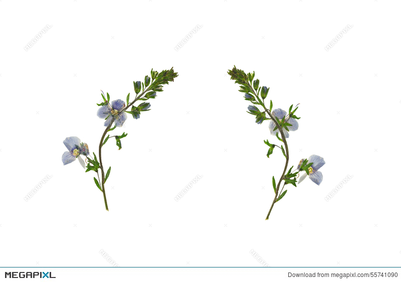 Pressed and dried flower veronica officinalis isolated on white pressed and dried flower veronica officinalis isolated on white background mightylinksfo