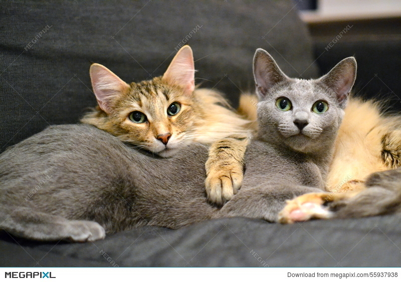 Russian Blue And Norwegian Forest Cat Stock Photo 55937938 Megapixl